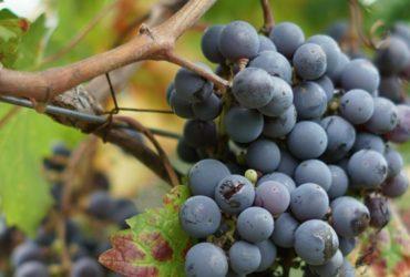 uvas malbec en argentina
