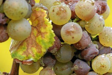 vinos botritizados y dulces que son